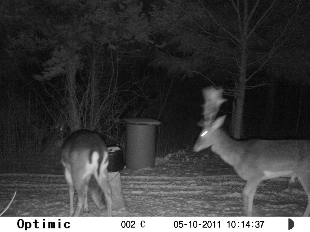 Dåhjorte ved foderpladsen søger efter føde