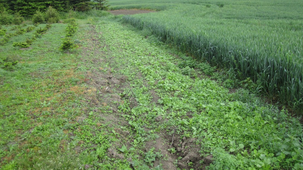 Vildtsribe i kanten af hvedemark