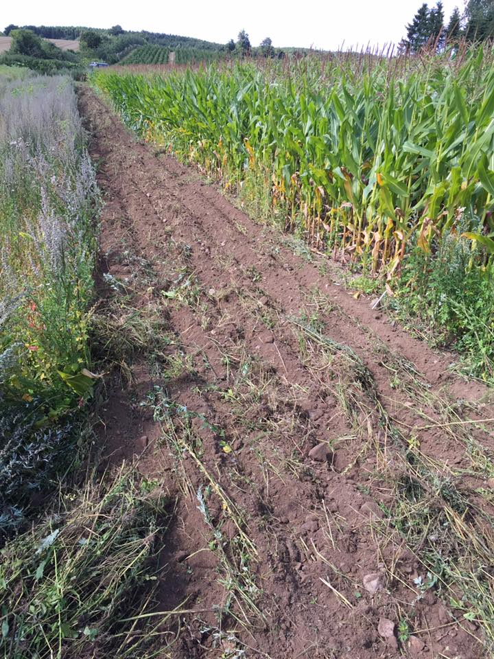 Nyetableret barjordsstribe til fasaner. Etableret mellem majsmark og vildtblanding.